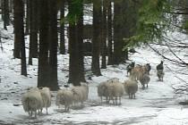 Kozy a ovce z chovu Rybnice, o které se chovatelka řádně nestará, zatím žijí v lesích na Semilsku. Vyžírají zde a ničí krmelce a jesle.