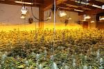 Největší případ. Trutnovští policisté překazili tříčlenné partičce kvetoucí byznys s marihuanou, v chatě Webrovka objevili 1756 rostlin konopí indického.