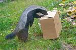 Zvířata v zoo nemají zábavu v podobě návštěvníků. Pro zpestření proto dostaly některé šelmy jídlo stejně jako teď vydávají restaurace: do krabičky s sebou.