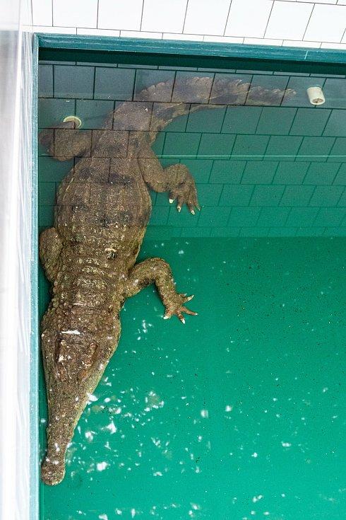 Safari Park Dvůr Králové získal na konci listopadu ze španělské Valencie samici vzácného krokodýla štítnatého.