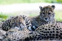 To se sešel žid, muslim a arab a ... ve Dvoře pokřtili gepardy