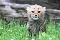 Mladí gepardi vyběhli mezi návštěvníky zoo