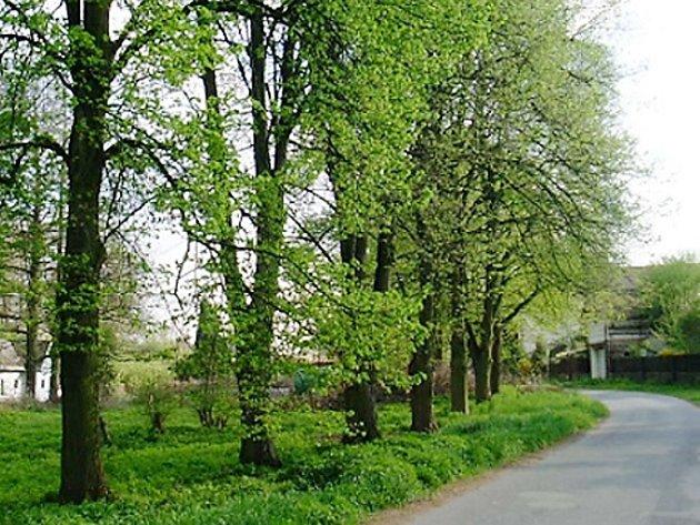 Lipová alej s oceněnou lípou lemuje cestu vedoucí v Čáslavi k rybníku Homolka.