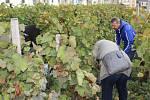 Sklizeň vinice pod chrámem sv. Barbory