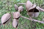 Dozrálé plody pavlovnie plstnaté v Jetelové ulici v Čáslavi.