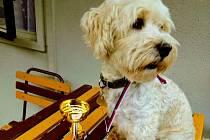 Boloňský psík Bondy zraněním podlehl.