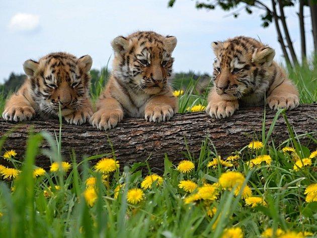 5. května byli malí tygříci z Ringellandu v Habrkovicích představeni veřejnosti
