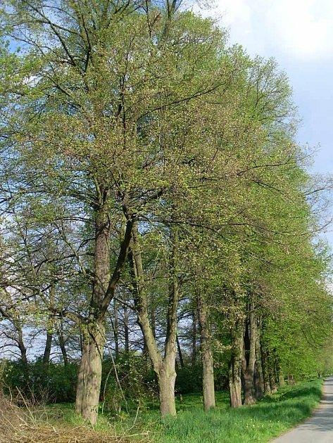 Lípa zlipové aleje vČáslavi získala ocenění Strom hrdina.
