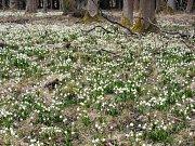 Bledule bohatě kvetou kousek od Zbýšova.