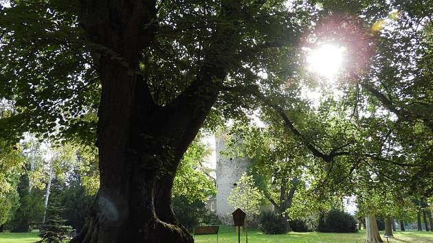 Lípa v zámeckém parku ve Zruči nad Sázavou, jejíž stáří je odhadováno na 470 let.