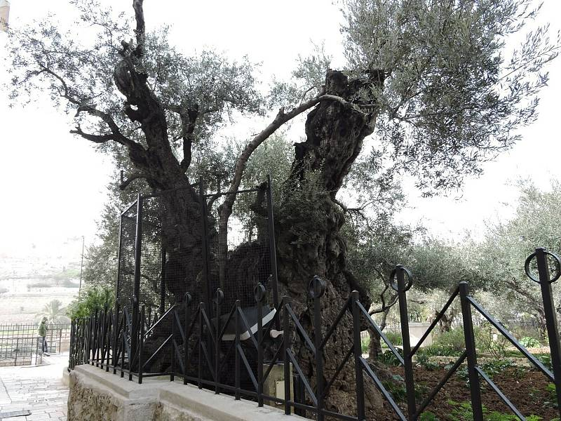 Getsemanská zahrada v Jeruzalémě.