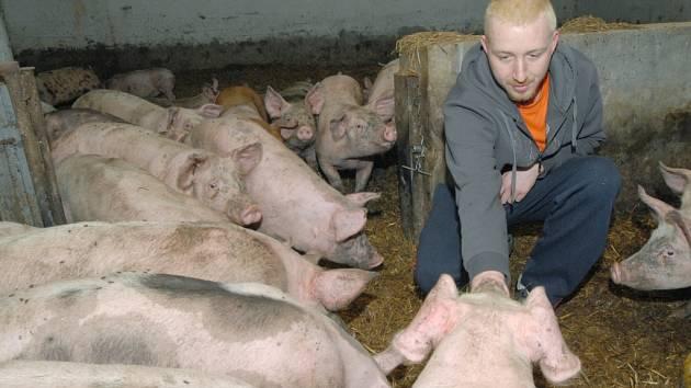 Opar lysivý může postihnout i prasata. Ilustrační foto.