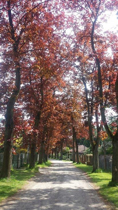 Benešovsko - červené javory ve Frágnerově ulici v Nespekách.