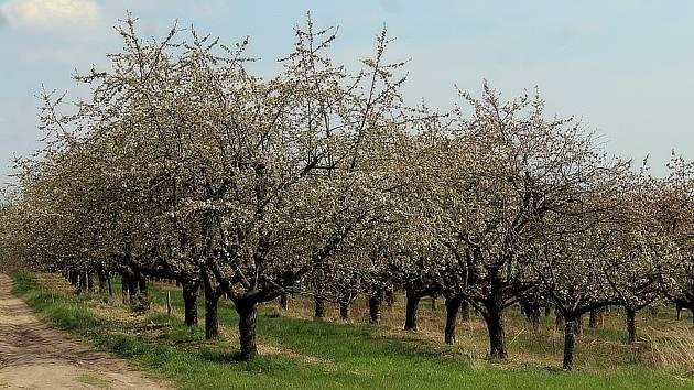 Ovocné sady v Horušicích.
