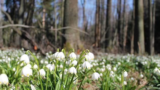 Bledule jarní v přírodní rezervaci Malá a Velká Olšina.