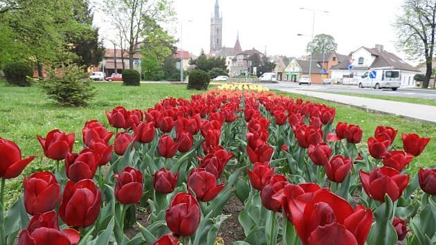 Záhony kvetoucích tulipánů na takzvaném Ostrém rohu v Čáslavi.