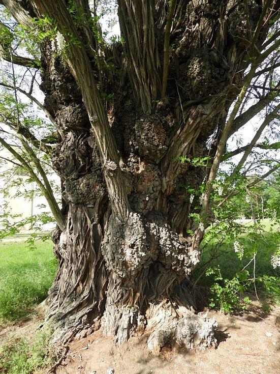 Nejmohutnější trnovník akát vrepublice roste na zámku Kačina.