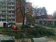 Větrem narušený smrk na sídlišti mezi ulicemi Masarykova a Trebišovská v Kutné Hoře.