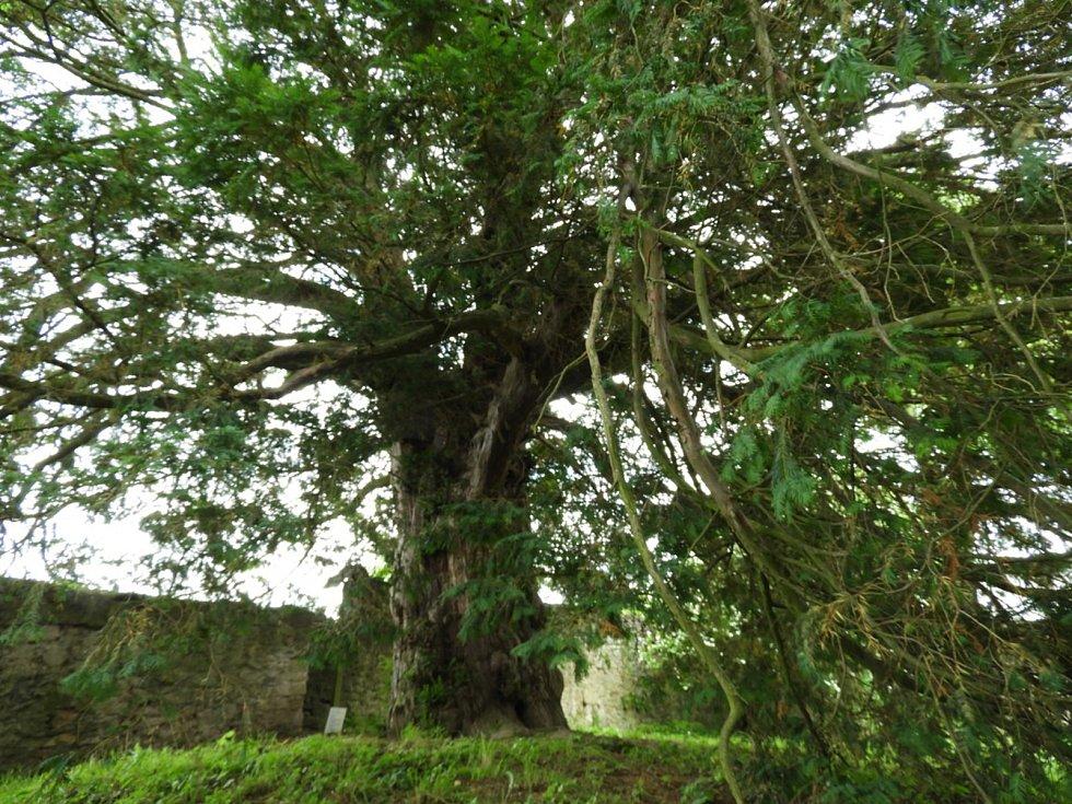 Ve Vilémovicích roste nejstarší strom v České republice.