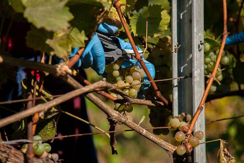 Sklizeň hroznů na vinicích společnosti Vinné sklepy Kutná Hora.