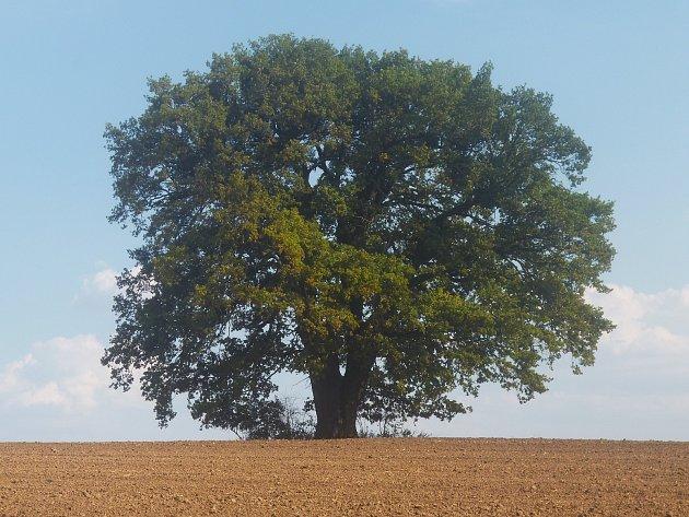 Památný dub u Markovic.