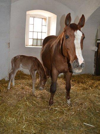 Nové narozené hříbě vMiskovicích na statku Dítě a kůň