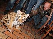 Malý tygr Fred na obědě U Zlatého lva 8. listopadu 2013.