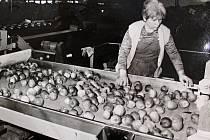 Agropodnik v Kutné Hoře: ovoce se rozdělovalo podle kvality na I. a II., někdy III. jakost a nestandard.