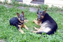 Dva zatoulaní vlčáci se našli v centru Kutné Hory.