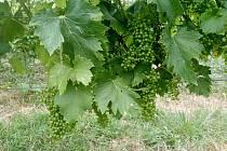 Zrající hroznové víno. Ilustrační foto.