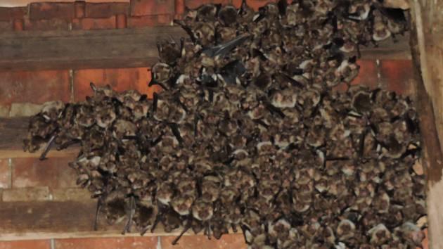 Kolonie netopýrů v Semtěši