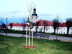 Zahradu bývalé jezuitské koleje zdobí nový strom.
