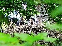 Čáp černý hnízdí nedaleko Uhlířských Janovic