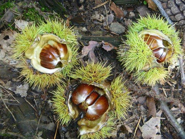 Kaštanobraní je letos na Čáslavsku poznamenáno suchem