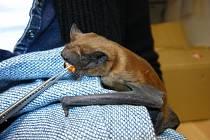 Jeden z netopýrů z močovické kolonie.