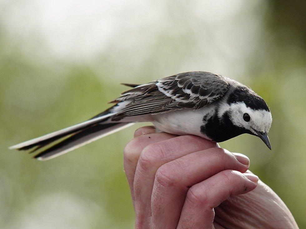 Z jarního odchytu ptactva mezi Hlízovem a Starým Kolínem.