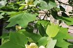 VČáslavi a Uhlířských Janovicích kvetou na stromech tulipány