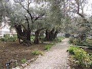 Getsemanská zahrada, modlil se zde Ježíš tu noc, kdy byl zatčen.