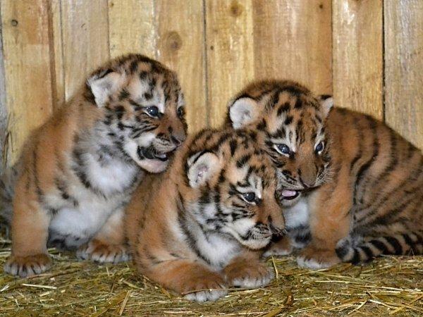 5. května byli malí tygříci zRingellandu vHabrkovicích představeni veřejnosti