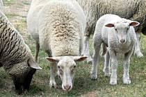 POBYT VENKU ovcím, a nejen jim, ztěžuje otravný hmyz. Jeho bodnutí může v krajním případě skončit i smrtí zvířete. Ilustrační foto.