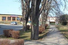 Kutnohorská radnice chce kaštanovou alej pokácet.