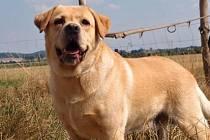 Labrador nalezený v Uhlířských Janovicích je přívětivý a zdravý pes.