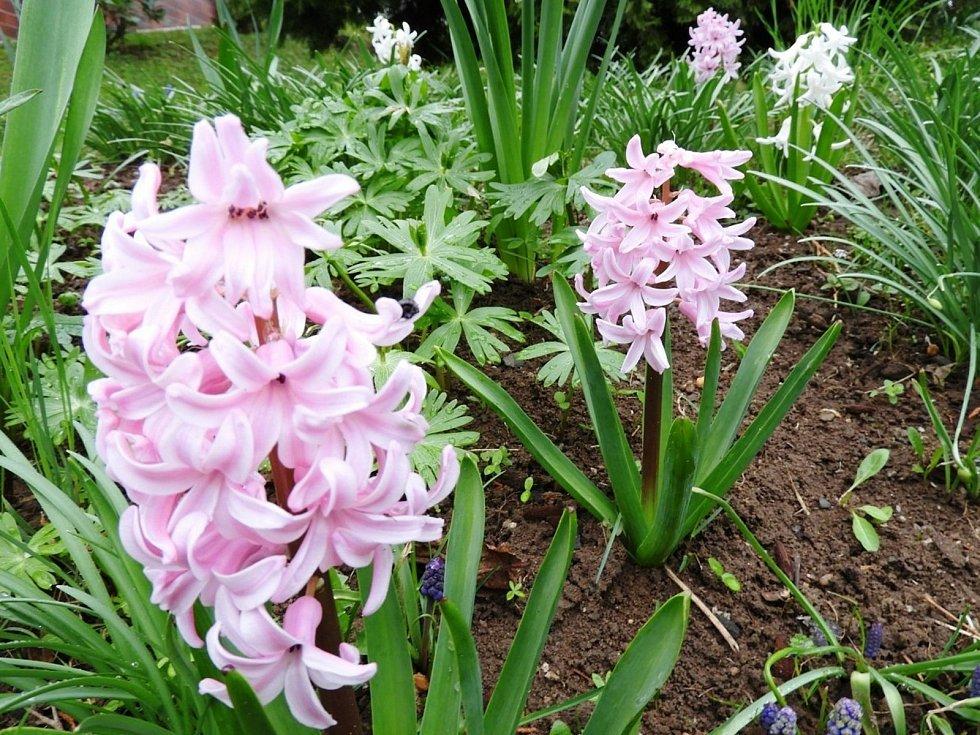 Kvetoucí hyacinty v Čáslavi.