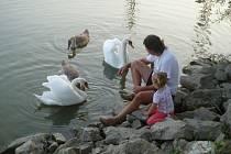 Labutí mláďata v Čáslavi s pomocí místních rostou