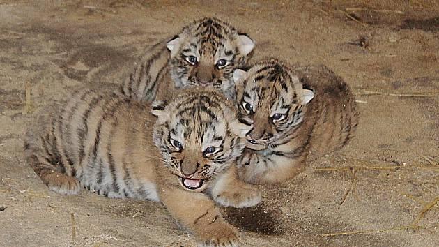 Nová mláďata tygrů v Habrkovicích