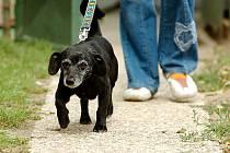 Renďu našli v kutnohorské ulici Na Studních, je to přítulný kříženec jezevčíka, asi šest let starý.