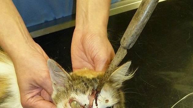 Kočka pobíhala čtyři dny s nožem v hlavě. 18.10. 2011