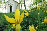 Tulipány plané v Čáslavi.