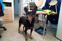 Bobík, pejsek k adopci z kutnohorského útulku pro nalezené psy.