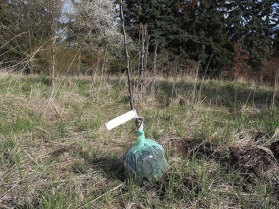 Z výsadby stromů a keřů za rybníkem Žabárna v Čáslavi.